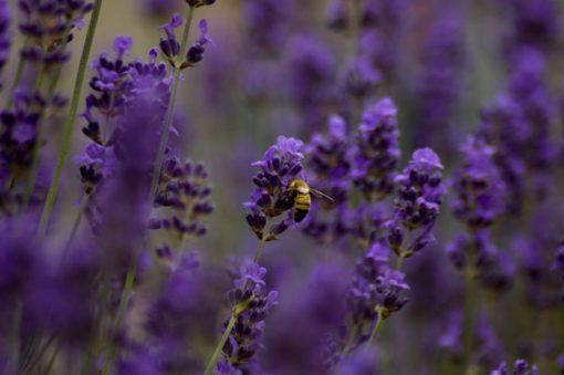 Lavendelsolja